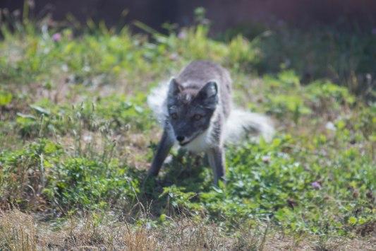 Arctic Fox (1 of 1)-2