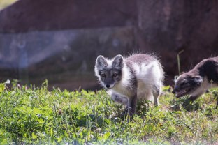 Arctic Fox (1 of 1)-3