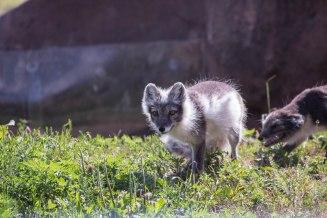 Arctic Fox (1 of 1)-3