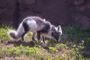 Arctic Fox (1 of 1)-4