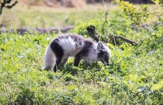 Arctic Fox (1 of 1)-5