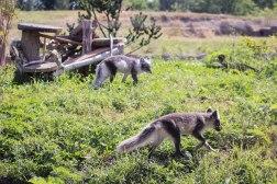 Arctic Fox (1 of 1)-6