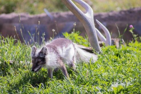 Arctic Fox (1 of 1)