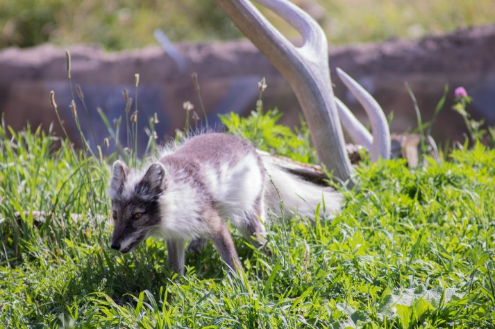 Arctic Fox (1 of 1)