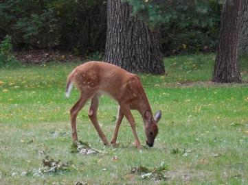 baby deer (2)