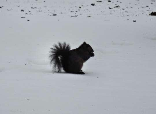 Black squirrel picture