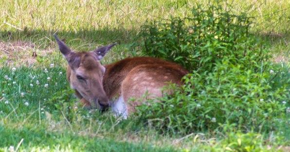 Deer Resting (1 of 1)-2