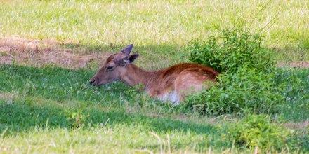 Deer Resting (1 of 1)