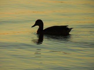 fall duck (2) new