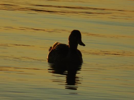 fall duck (3)