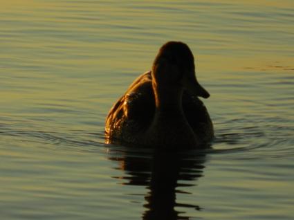 fall duck (4)