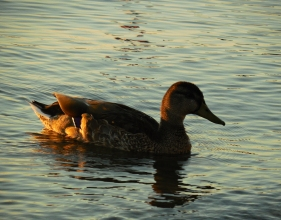 fall duck (5) new