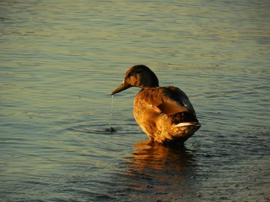 fall duck (6)