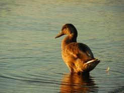 fall duck (7)