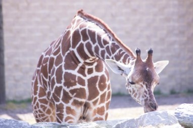 Giraffe (1 of 1)-2