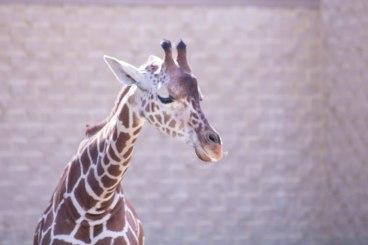 Giraffe (1 of 1)