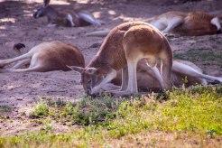Kangaroo (1 of 1)