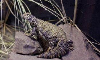 Lizard on the rocks (1 of 1)