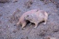 Prairie Dog (1 of 1)-2