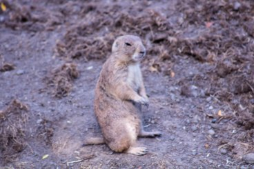 Prairie Dog (1 of 1)
