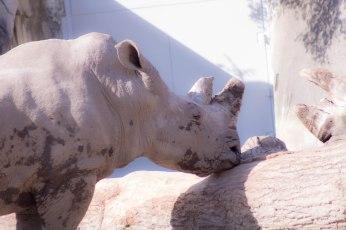 Rhinos (1 of 1)-2