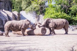Rhinos (1 of 1)
