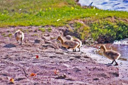 row of ducks1