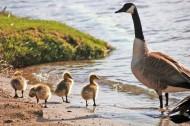 row of ducks2