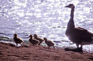 row of ducks3