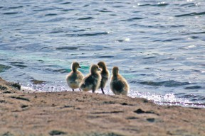 row of ducks4