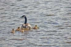 row of ducks5