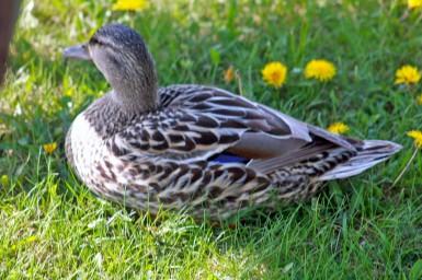 row of ducks7