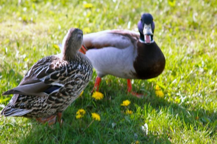 row of ducks8