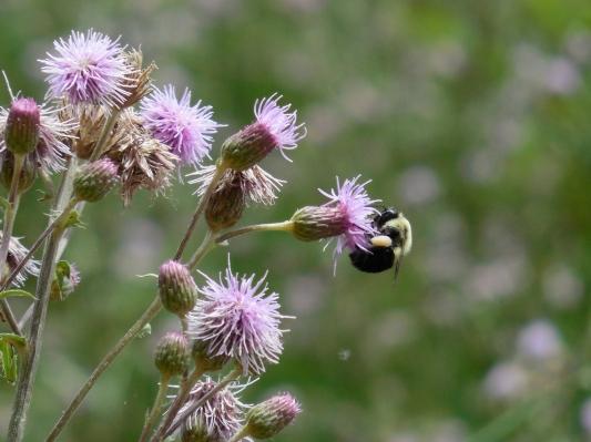 summer bee