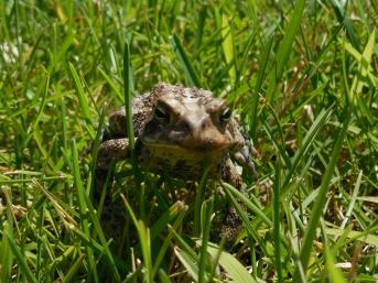 summer frog