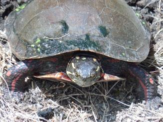 summer turtle