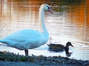 Swan and duck2 edit